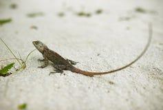 Одичалая ящерица Стоковое фото RF