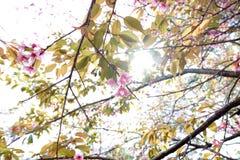 одичалое вишни himalayan Таиланд Стоковое Изображение RF