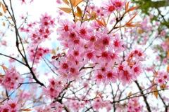 одичалое вишни himalayan Таиланд Стоковая Фотография RF