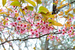 одичалое вишни himalayan Таиланд Стоковые Фото