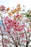 одичалое вишни himalayan Таиланд Стоковое фото RF