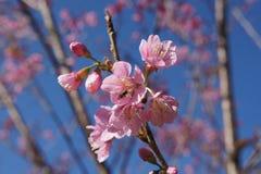 одичалое вишни himalayan Стоковая Фотография
