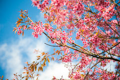 одичалое вишни himalayan Стоковое фото RF