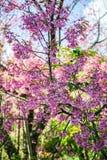одичалое вишни himalayan Стоковые Изображения