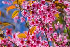 одичалое вишни himalayan Стоковое Фото