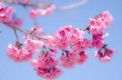 одичалое вишни himalayan Стоковое Изображение RF