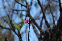одичалое вишни himalayan Стоковые Изображения RF
