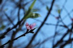 одичалое вишни himalayan Стоковое Изображение