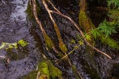 Одичалое высокогорное река горы с корнями мха и ветвями дерева Стоковое Изображение RF
