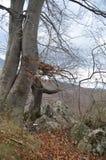 Одичалое изолированное дерево в восточных Карпатах, ресервирование Piatra Craiului естественное, Румыния Стоковая Фотография
