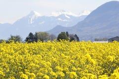Одичалое канола поле Стоковое Фото