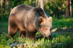 одичалое медведя коричневое стоковая фотография