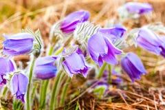 Одичалое молодое Pasqueflower в предыдущей весне Pulsatilla Patens цветков Стоковое Фото