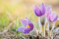 Одичалое молодое Pasqueflower в предыдущей весне Pulsatilla Patens цветков Стоковое Изображение RF
