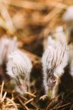 Одичалое молодое Pasqueflower Pulsatilla Patens цветков Стоковое Изображение