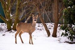 Одичалое дорогое в саде в зиме Стоковое Изображение