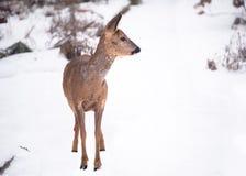Одичалое дорогое в саде в зиме Стоковое Изображение RF