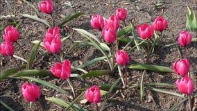 Одичалое основание черноты Violacea тюльпана акции видеоматериалы