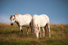 одичалое лошадей белое Стоковая Фотография