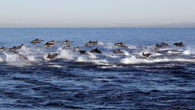Одичалое паническое бегство дельфинов Стоковое Изображение RF