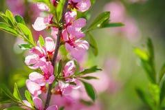 Одичалое цветение пинка миндального дерева стоковые фотографии rf