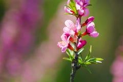 Одичалое цветение пинка миндального дерева стоковые фото