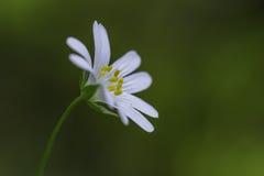одичалое цветка белое Стоковое Изображение RF
