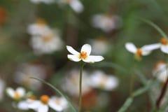 одичалое цветка белое Стоковые Изображения