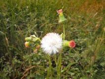 одичалое цветка белое Стоковое Фото