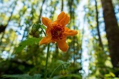 одичалое цветка померанцовое Стоковое фото RF