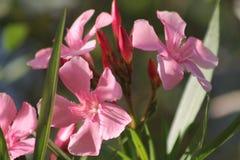одичалое цветка розовое Стоковое Изображение