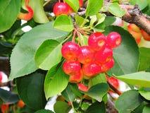 Одичалое яблоко, сычужина, красивый зрелый плодоовощ Стоковое фото RF
