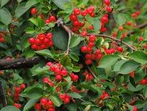 Одичалое яблоко, сычужина, красивый зрелый плодоовощ Стоковое Изображение RF