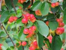 Одичалое яблоко, сычужина, красивый зрелый плодоовощ Стоковые Изображения