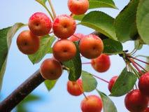 Одичалое яблоко, сычужина, красивый зрелый плодоовощ Стоковая Фотография