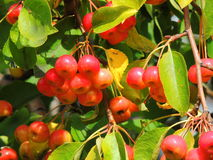 Одичалое яблоко, сычужина, красивый зрелый плодоовощ Стоковая Фотография RF