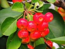 Одичалое яблоко, сычужина, красивый зрелый плодоовощ Стоковое Фото