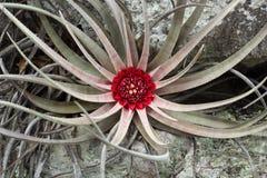 Одичалое cerrado bromélia Стоковое Изображение