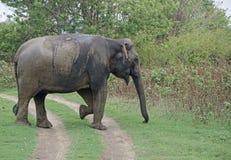 Одичалое elefant Стоковое Фото
