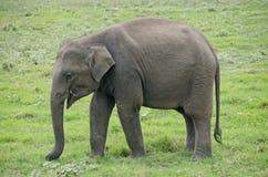 Одичалое elefant Стоковые Фотографии RF