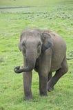 Одичалое elefant Стоковые Изображения RF