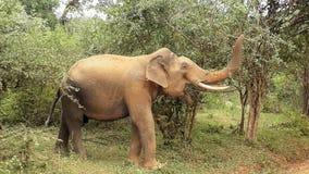 одичалое elephatnt Стоковое Изображение