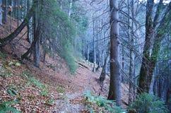 Одичалое forst в восточных Карпатах, ресервирование Piatra Craiului естественное, Румыния Стоковое фото RF