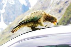 Одичалое Kea идя на автомобиль, Новую Зеландию Стоковая Фотография