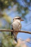 Одичалое Kookaburra Стоковые Фотографии RF