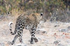 Одичалое senn гепарда от позади Стоковые Изображения RF