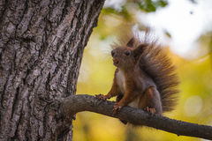 Одичалое squirel захватило в холодном солнечном дне осени Стоковые Фото