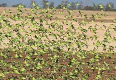 Одичалые австралийские волнистые попугайчики стоковое фото