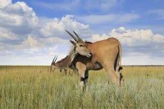 Одичалые антилопы Eland Стоковое Изображение