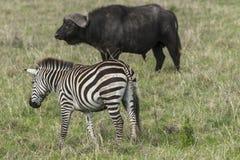 Одичалые африканские буйвол и зебра стоковая фотография